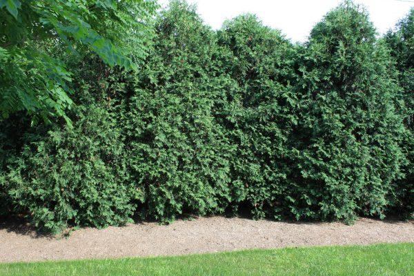 Hedge Wall | Andrew Zema's Landscaping & Excavating - Berkshire County, Columbia County, Rensselaer County