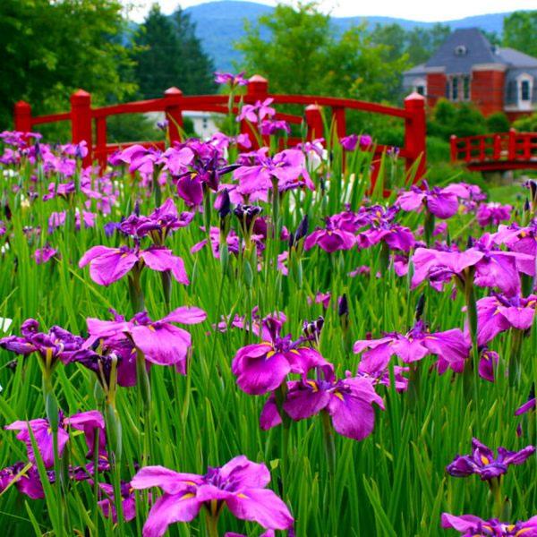Sea of Irises | Andrew Zema's Landscaping & Excavating - Berkshire County, Columbia County, Rensselaer County